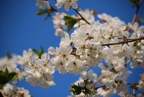 plant close up photo of white cherry blossoms flower