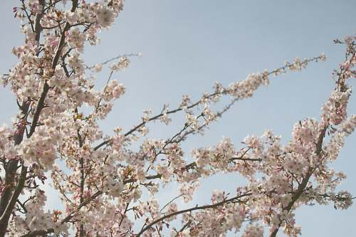 flower low angle view of white cherry blossom tree sky
