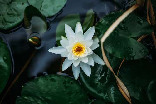 flower white lotus flower and lily pads lily