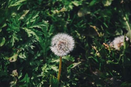 dandelion white petaled flower flora