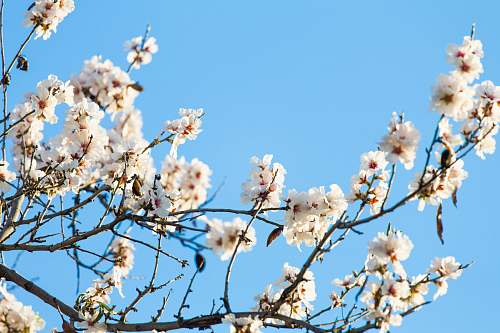 flora worm's eye view photography of cherry blossom tree flower
