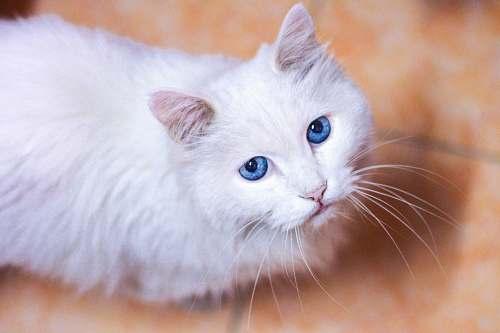 cat closeup photo of white cat on floor pet