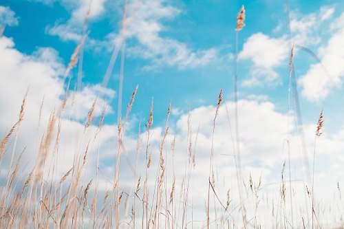 grass wheat field under clouds plant