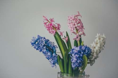 vase white, pink, and blue hyacinth flowers leaf