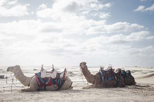 animal photo of two camels lying on sand sand