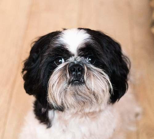 dog long-coated white and black dog animal