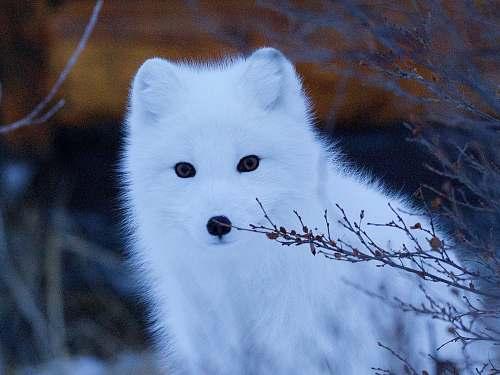 wildlife wildlife photography of snow fox mammal