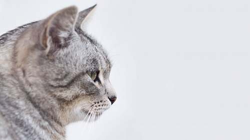 animal gray and white tabby cat with white background pet