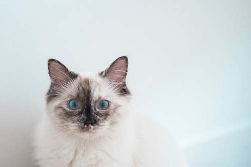 animal long-fur white and black cat mammal
