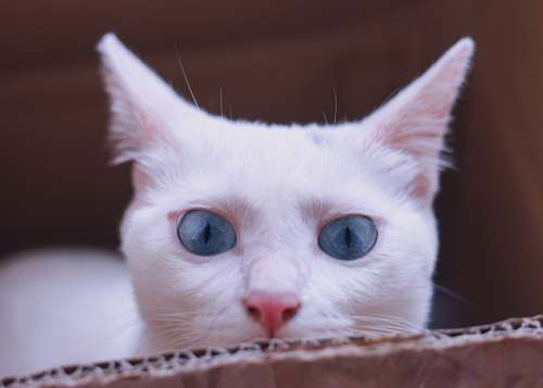 mammal white cat on box siamese
