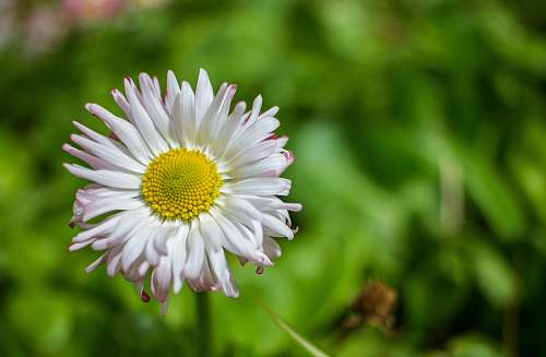 flower white daisy blossom