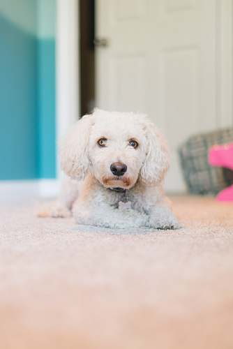pet adult white toy poodle laying down on carpet mammal