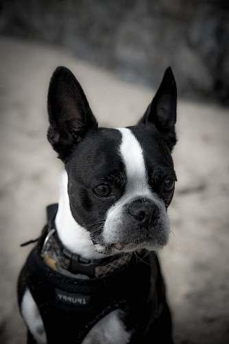 bulldog black and white French bulldog canine