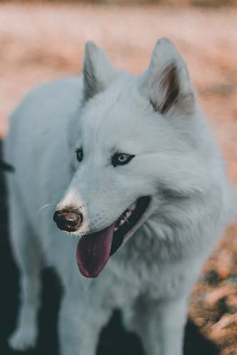 pet closeup photo of white dog canine