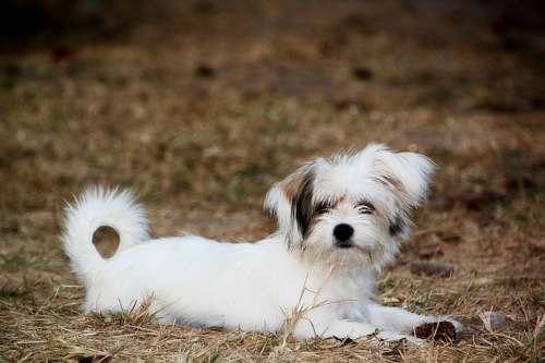 pet long-coat white and brown puppy lying on brown pavement animal