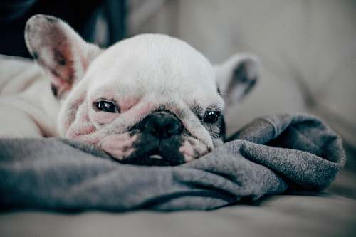 pet white French bulldog puppy laying on gray textile canine