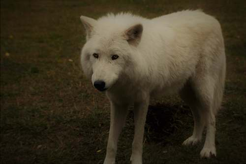 white dog white wolf on grass canine