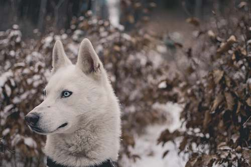 husky white wolf surrounded with plants animal