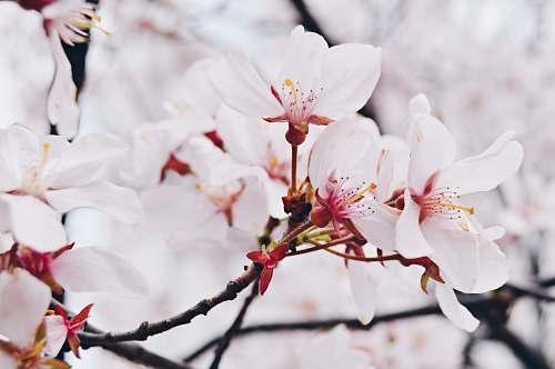 flower cherry blossom flowers in macro shot petal