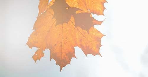 leaf dried maple leaf on white surface maple leaf