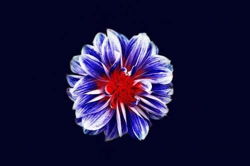 plant blue and red flower digital wallpaper flora