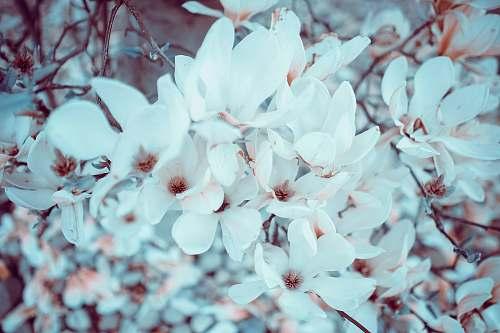 plant Cherry blossom flowers spring