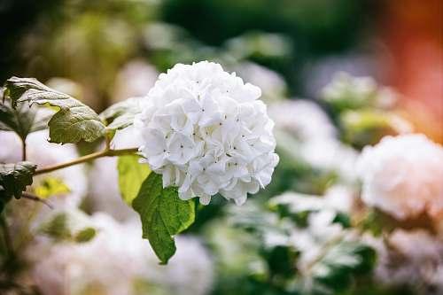 blossom close view of white encrusted flowers geranium