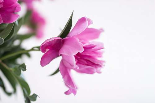 blossom closeup photography of pink petaled flower petal
