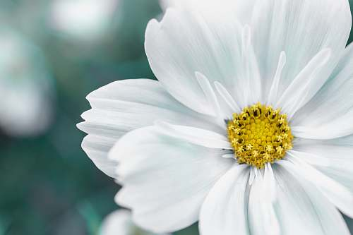 pollen closeup photography of white petaled flower daisy