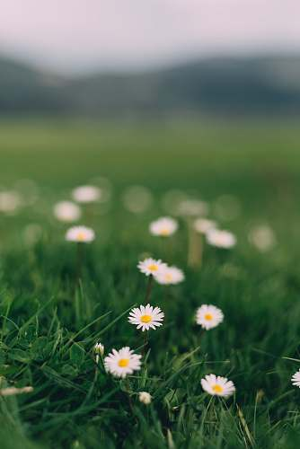 plant daisy flowers grass
