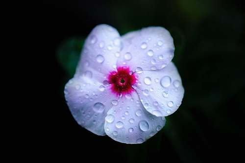 plant macro photo of white and pink moth flower with water drops droplet