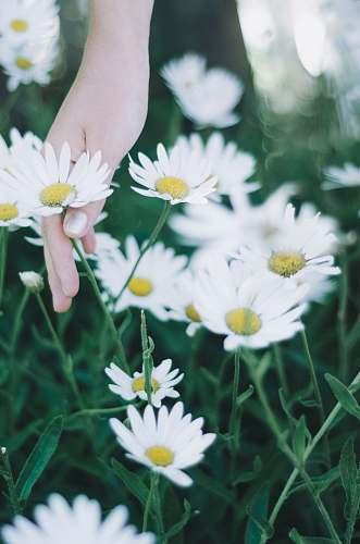 blossom person holding daisy flowers daisy