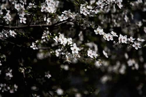 blossom photography of white flowering tree cherry blossom