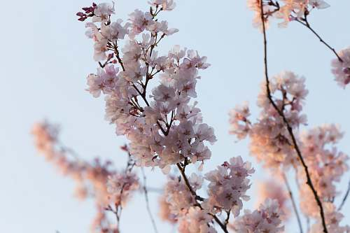 blossom selective focus photography of white and pink petaled flower cherry blossom