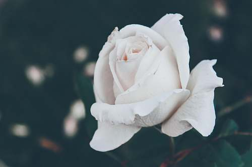 grey selective focus photography of white rose flower rose