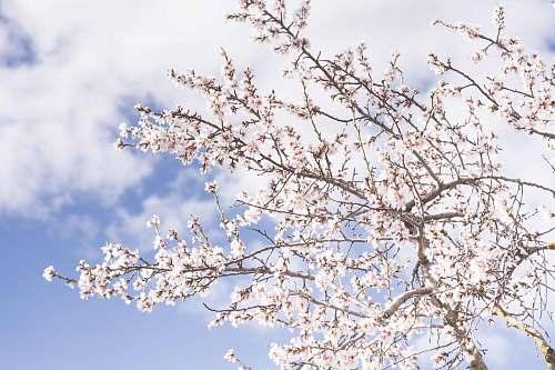 blossom white cherry blossoms flowers