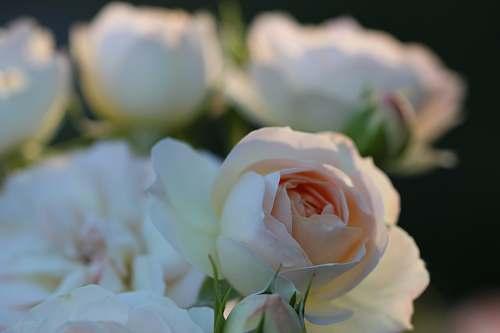 blossom white cluster flowers rose