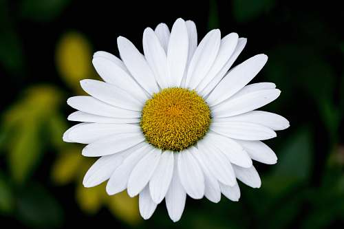 blossom white daisy flower daisies
