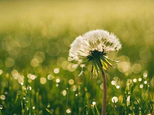 nature white dandelion closeup photography plant