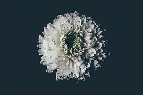 blooming white flower dahlia