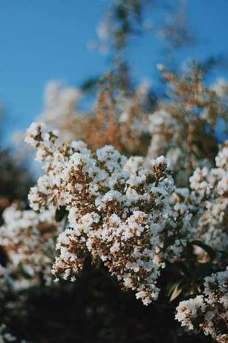human white flowering tree cherry blossom