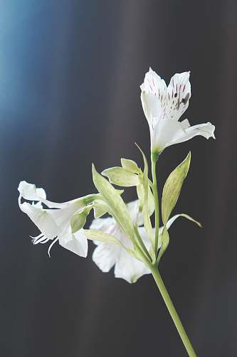 flora white flowers in macro shot blossom