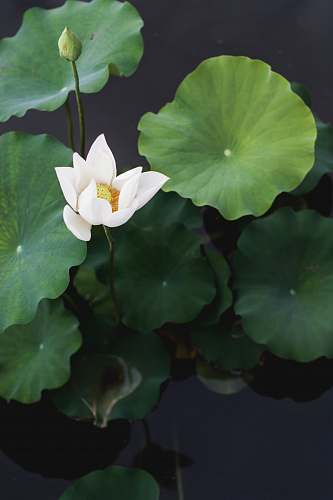 plant white lotus flower nature