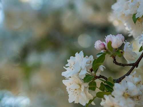 blossom white petaled flowers blooming flora