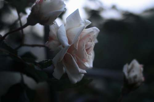 blossom white rose flowers closeup photgraphy human