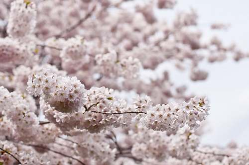 blossom white tree flowers macro shot cherry blossom