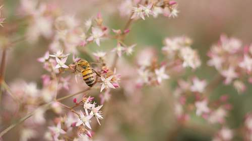 blossom yellow and black bee perched on white and pink petaled flower closeup photography bee