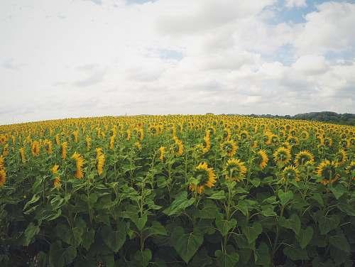 sunflower yellow sunflower in bloom plantation field
