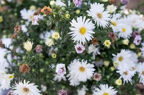 flower tilt shift lens photography of white daisies blossom