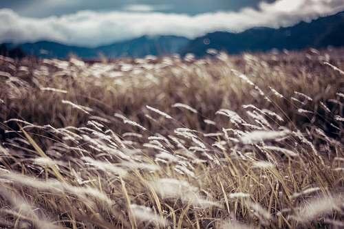 plant brown grass field flora